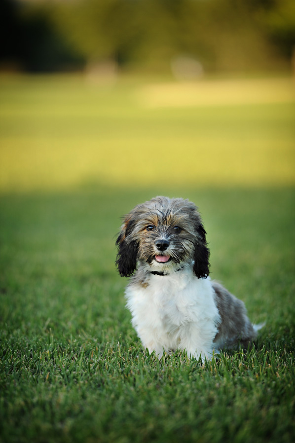 malshih puppy, orange county park photography, gavin wade photographers, irvine park